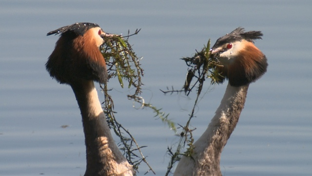 Great crested grebe footage used in BBC's Natural World